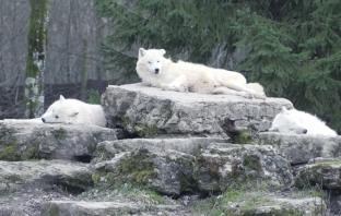 loup sainte-croix animaux