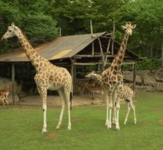 Zoo d'Amnéville : la girafe reine de la semaine